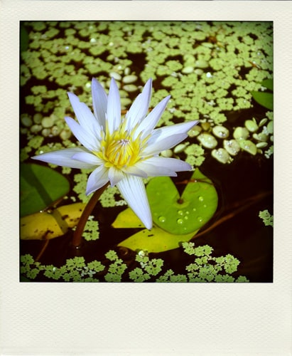 Lotus-polaroid